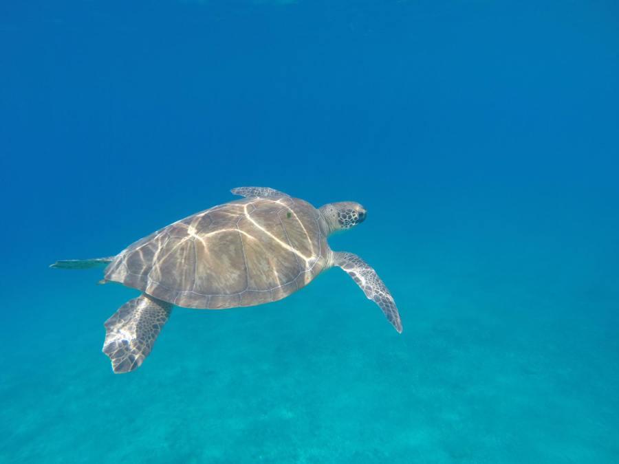 Kalkan Turtle